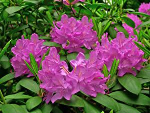 Картинки Рододендрон Вблизи Розовая Цветы