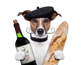 Фотографии Собаки Вино Хлеб Кепке Бутылки Джек-рассел-терьер Смешной животное