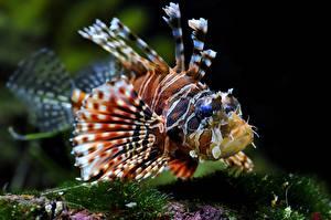 Картинки Подводный мир Рыбы Крылатка Животные