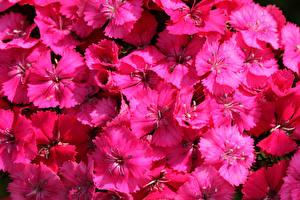 Фотография Гвоздика Крупным планом Много Розовых цветок