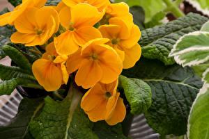 Фотография Морозник Крупным планом Желтая цветок