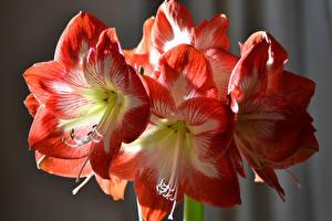 Фотография Амариллис Вблизи цветок