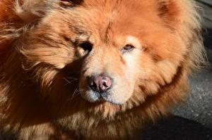 Картинки Собака Чау Чау Взгляд Морда Головы Рыжая Животные