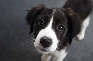 Фото Собаки Бордер-колли Смотрит Морда Щенок Животные