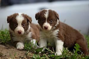 Картинка Собаки Бордер-колли Щенок Вдвоем Трава Взгляд Животные