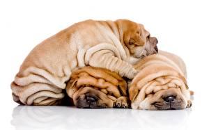 Обои Собаки Шарпей Щенок Трое 3