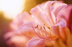 Обои Лилии Вблизи Розовый Лепестки Цветы