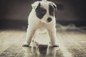 Обои Собаки Щенок Бордер-колли Животные