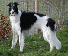Картинка Собаки Борзые Трава Животные