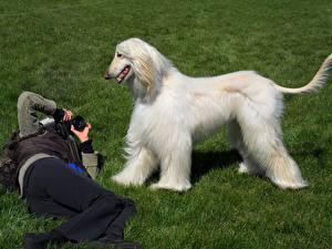 Обои Собаки Борзые Трава Афганская борзая Животные