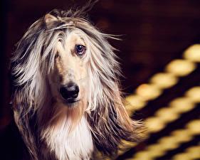 Картинки Собаки Борзые Взгляд Афганская борзая Морда