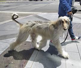 Картинка Собаки Борзые Афганская борзая