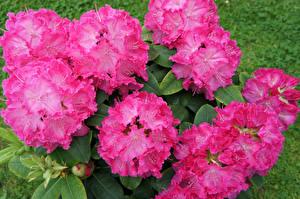 Картинка Рододендрон Вблизи Розовые Цветы