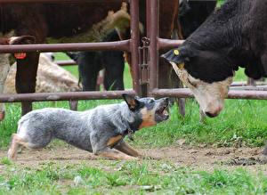 Фото Собаки Корова Австралийская пастушья Трава