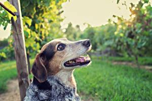 Картинка Собаки Австралийская пастушья Животные