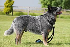 Фотографии Собаки Австралийская пастушья Трава