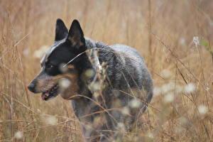 Фотография Собаки Австралийская пастушья