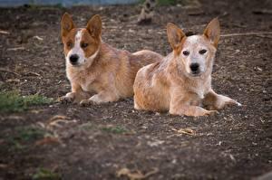 Обои Собаки Австралийская пастушья Вдвоем Животные