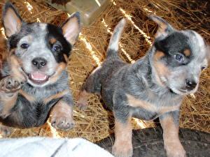 Фотографии Собаки Австралийская пастушья Сено Щенок Вдвоем