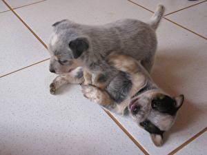Картинки Собаки Австралийская пастушья Щенок 2 Плитка