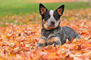 Картинка Собаки Осень Австралийская пастушья Листва Щенок
