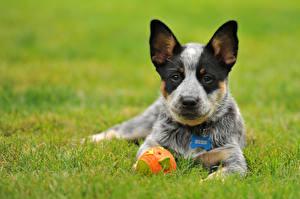 Обои Собаки Австралийская пастушья Трава Щенок Мяч