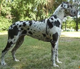 Картинки Собака Немецкий дог Трава животное