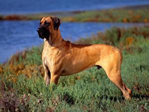 Обои Собака Немецкий дог Трава Рыжие Животные