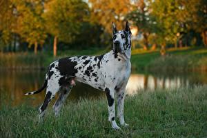 Картинка Собаки Осень Пруд Немецкий дог Траве Животные