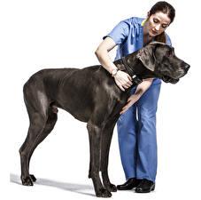 Картинки Собаки Немецкий дог Черные животное Девушки