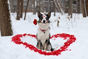 Картинка Собаки Розы Бордер-колли Сердечко Снег Животные