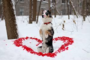 Обои Собаки Бордер-колли Сердечко Снег Животные