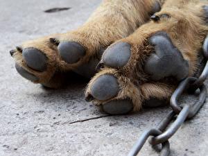 Фотография Собаки Крупным планом Лапы Цепь Животные
