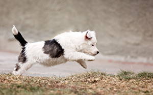 Фотография Собаки Щенок Бордер-колли Животные