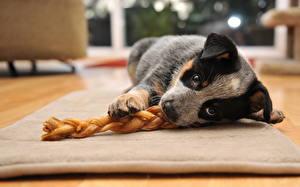 Картинки Собаки Австралийская пастушья Взгляд Щенок Животные