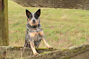 Картинки Собаки Австралийская пастушья
