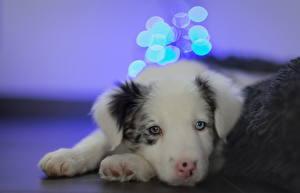 Фото Собаки Щенок Бордер-колли Взгляд Животные