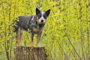 Фотографии Собаки Австралийская пастушья Пень