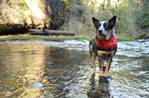 Фото Собаки Вода Речка Австралийская пастушья