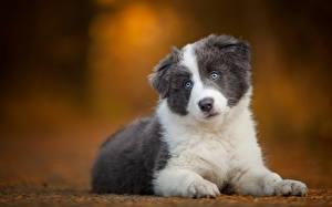 Фотографии Собаки Бордер-колли Щенок Смотрит Животные