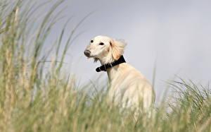 Фотография Собаки Борзые Трава