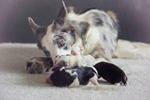 Картинка Собаки Бордер-колли Щенок Животные