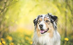 Картинки Собаки Австралийская овчарка Взгляд