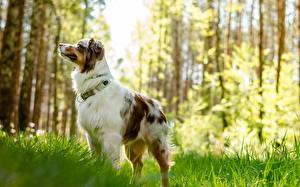 Картинка Собаки Австралийская овчарка Трава Животные