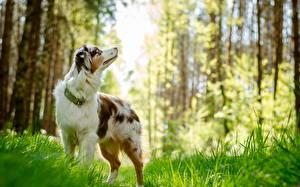 Фотографии Собаки Австралийская овчарка Трава