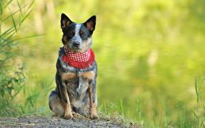 Фотография Собаки Австралийская пастушья Трава