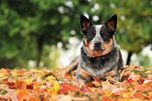 Картинки Осенние Собаки Австралийская пастушья Листва