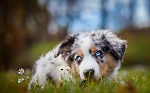 Фото Собаки Австралийская овчарка Трава Смотрит