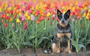 Обои Собаки Тюльпаны Поля Австралийская пастушья Цветы