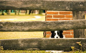Фотографии Собаки Бордер-колли Ограда животное